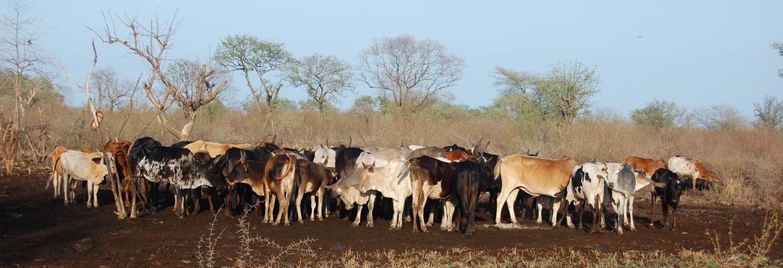 Samengedreven vee in kraal bij Miro Beh Village